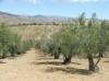 mature olive trees