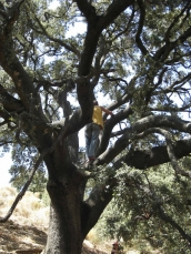 Cortijo Ortices - huge holy oak tree