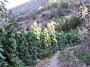land full of tomato plants